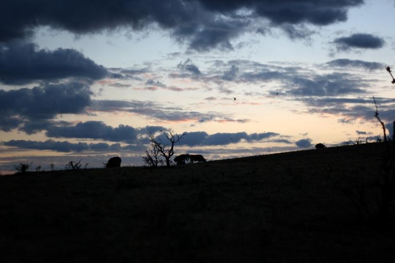 Bueyes perfilados en la puesta del sol. Foto: Sara Gordón