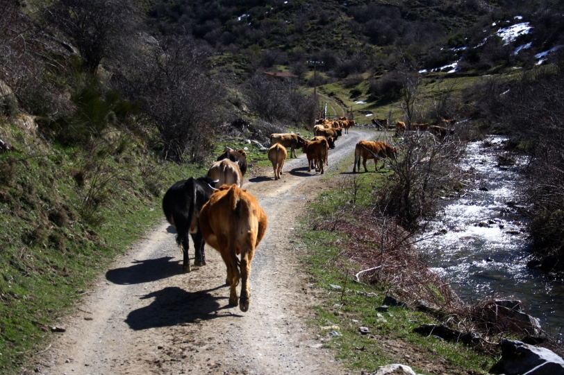 Las vacas nos guiaron durante la mitad de la ruta. Foto: Sara Gordón