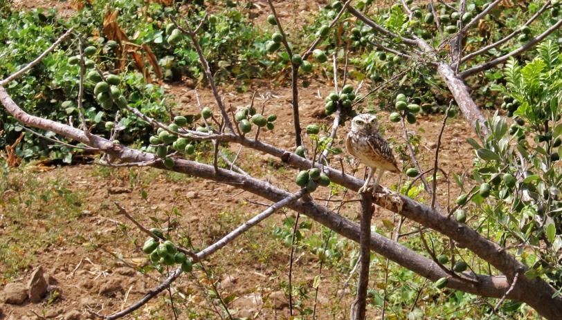 Es un búho pequeño que se da en todos los paisajes abiertos de Ámerica. Foto: Sara Gordón